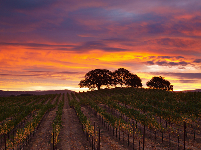 Napa County vineyard at Sunrise